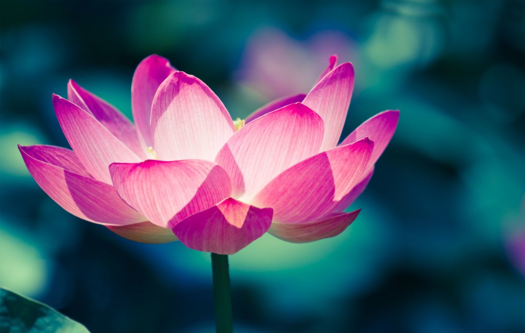 Lotus Flowers – A Beautiful Addition To Your Garden Pond